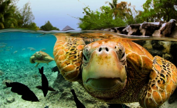 green-sea-turtle-bora-bora