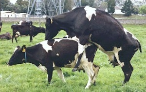 Cow mounting cow